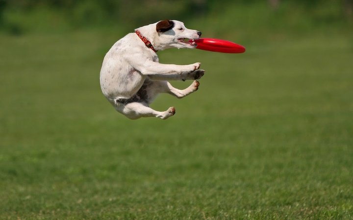 dog-playing-and-catching-frisbee-hd-animal-wallpaper-dogs