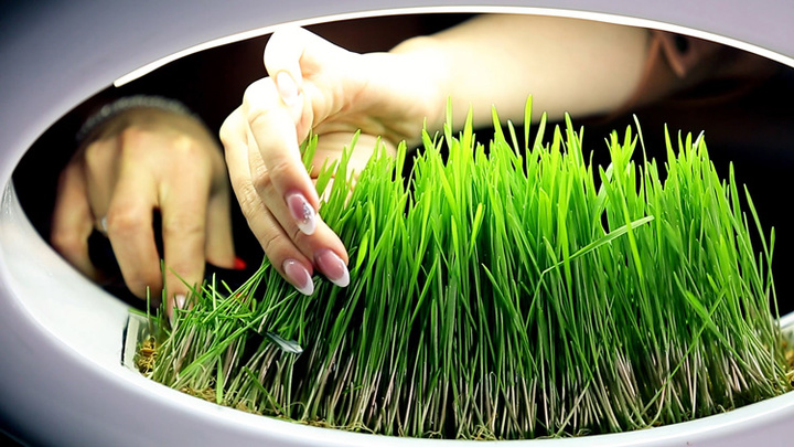 cuting-wheatgrass